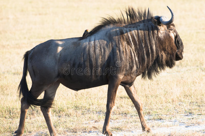 Wildebeest, Gnu in African savannah in Tanzania royalty free stock photography