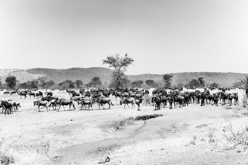 Wildebeest - Gnus in Serengeti, Tanzania, black-and-white photography royalty free stock image