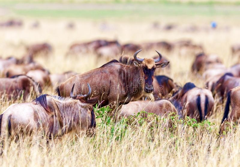 Wildebeest graze in the field. Kenya, a national park. Wildebeest graze in Kenya, national park. The concept of wildlife and its protection stock photography