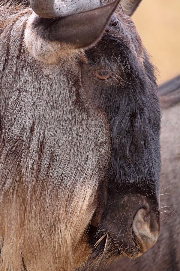 Wildebeest Head Stock Image