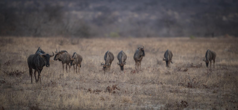 Wildebeest_herd_walking stock foto's
