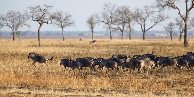 Wildebeest i Mikumi arkivfoto
