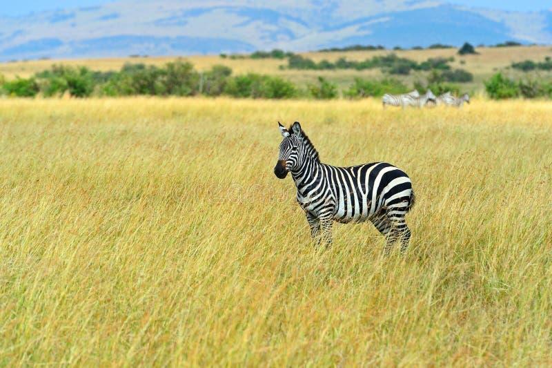 Wildebeest i savannahen arkivbilder