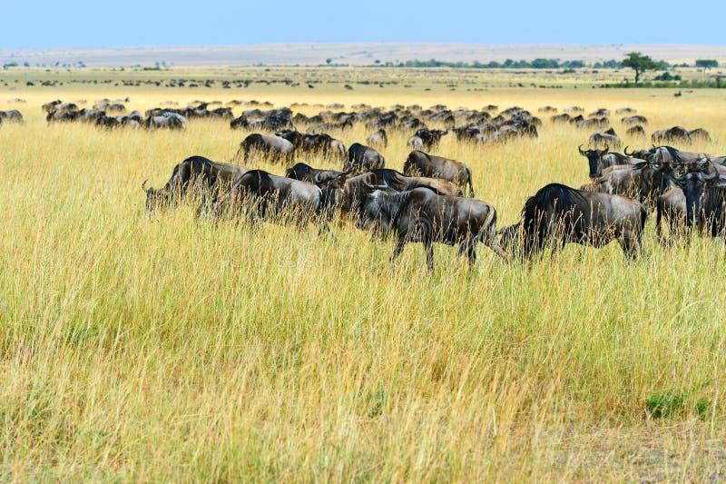 Wildebeest i savannahen arkivfoto