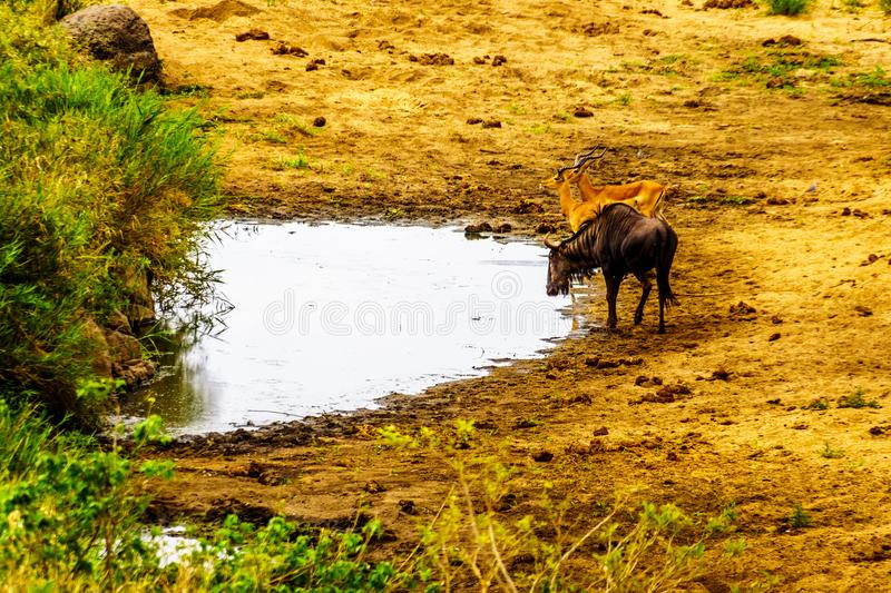 Wildebeest and Impalas at a watering hole in Kruger National Park. In South Africa stock images
