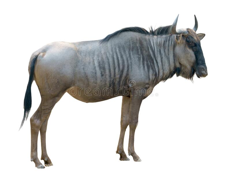 Wildebeest isolated on white background stock photography