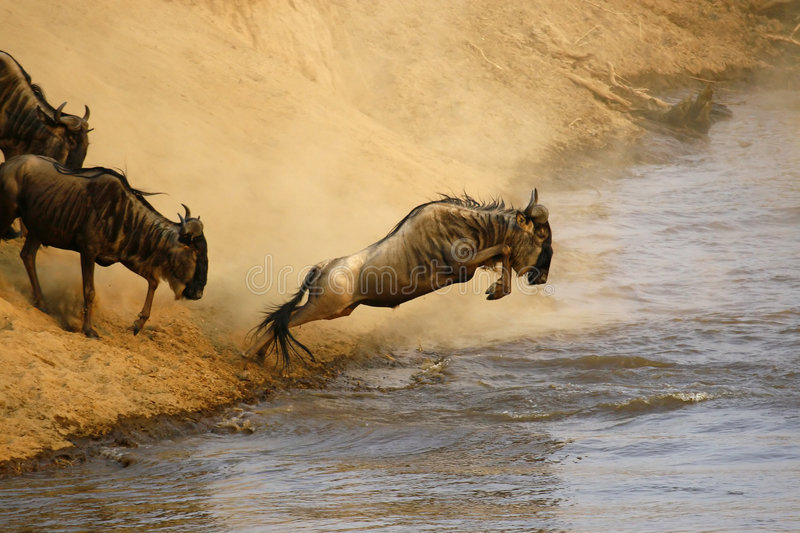Wildebeest jumping. Crossing the Mara River