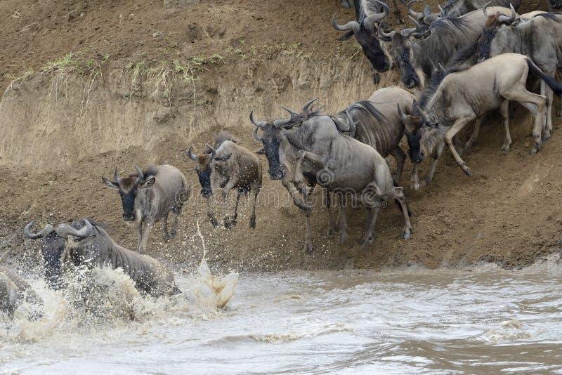 Wildebeest royalty free stock photo