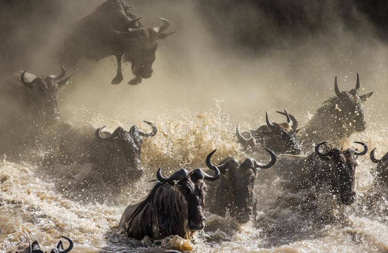 Wildebeest jumping into Mara River. Great Migration. Kenya. Tanzania. Masai Mara National Park. stock images