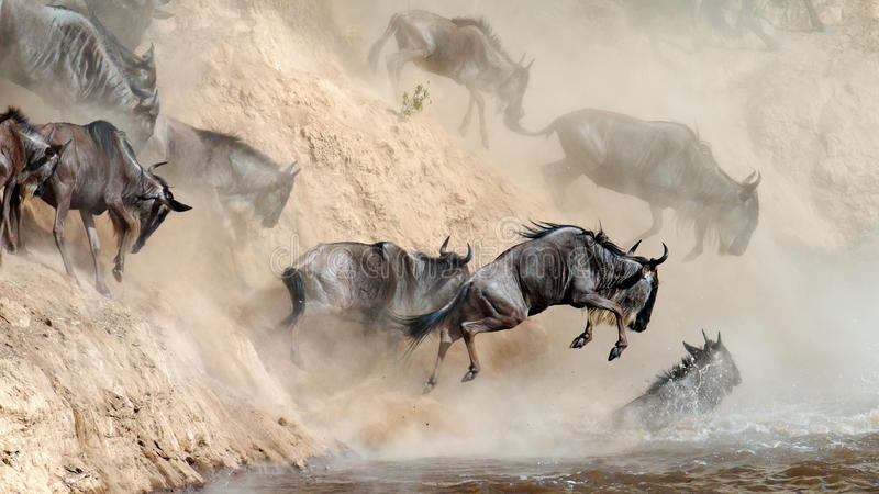 Wildebeest leaping in river stock photo