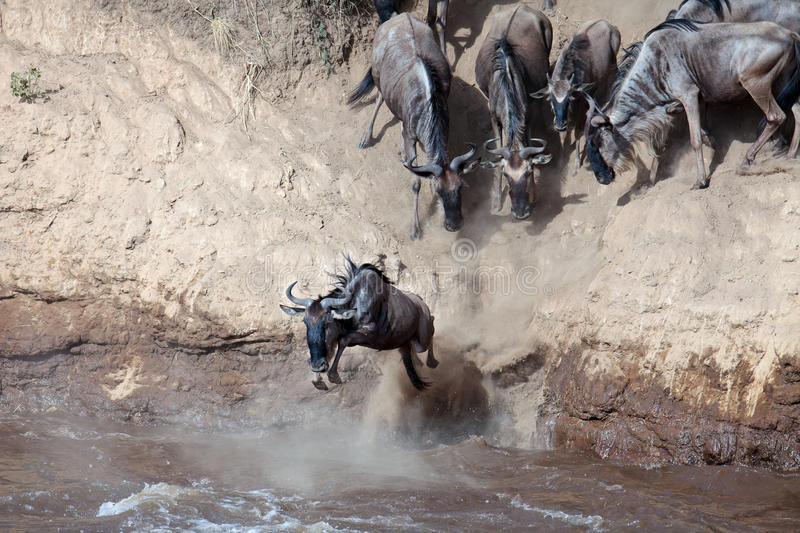 Download Wildebeest Jumps Into The River From A High Cliff Stock Image - Image: 15612093