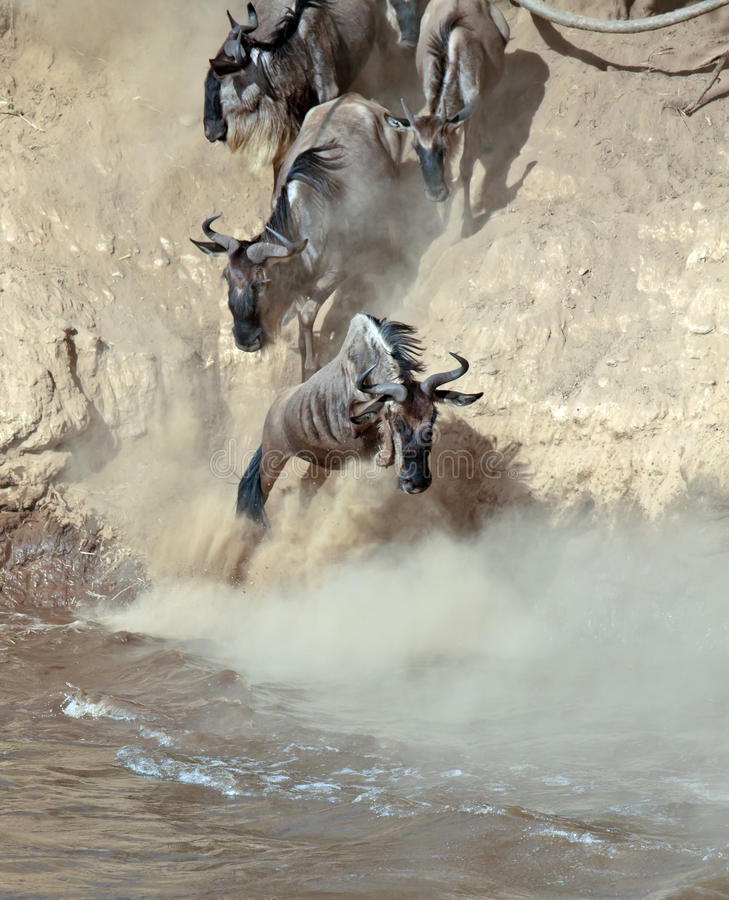 Download Wildebeest Jumps Into The River From A High Cliff Stock Photo - Image of hooves, migration: 15612192