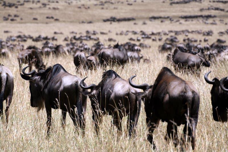 Wildebeest (Kenia) stock afbeelding