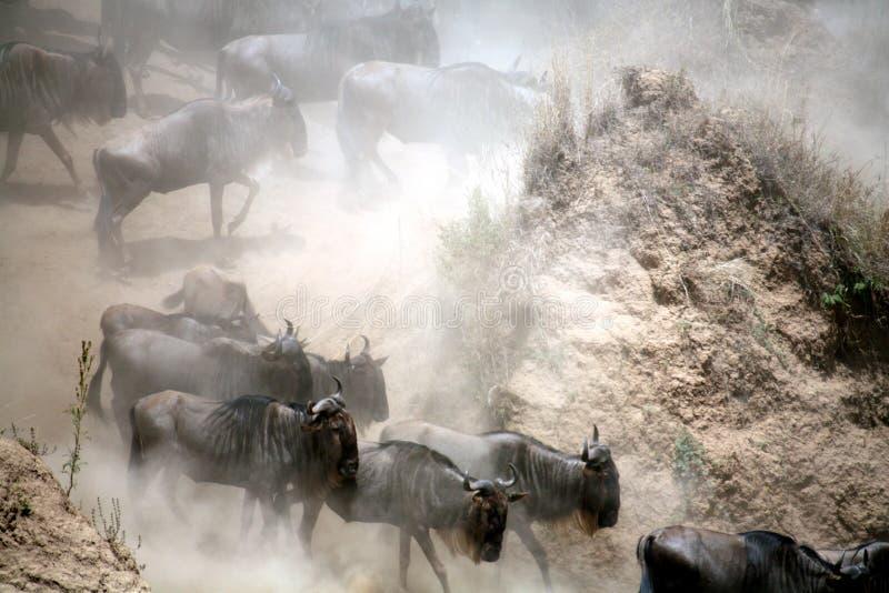 Wildebeest (Kenia) immagine stock libera da diritti