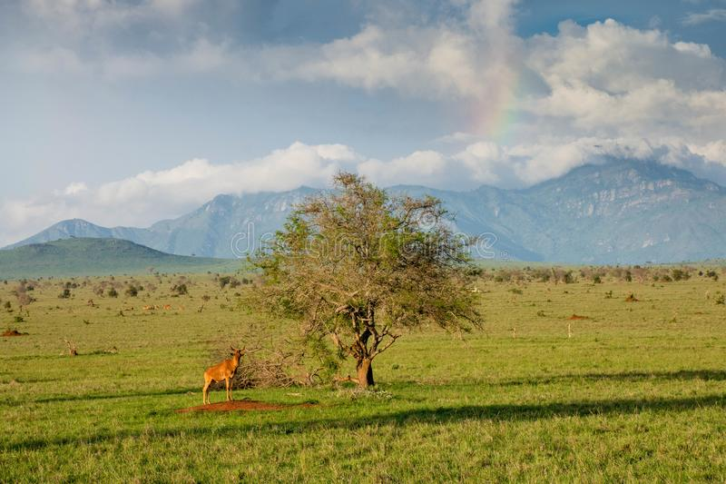 Wildebeest at lone tree in Tsavo National Park in Kenya royalty free stock image