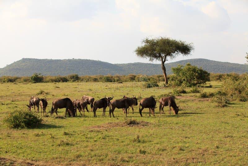 Wildebeest in Masai Mara Kenia stock fotografie