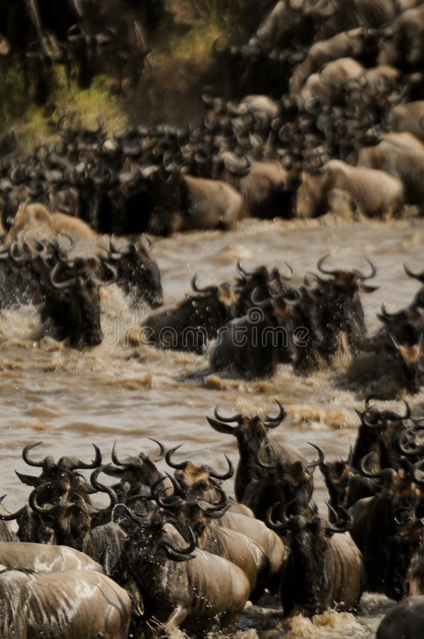 Wildebeest Migration crosses the Mara River in Tanzania stock images