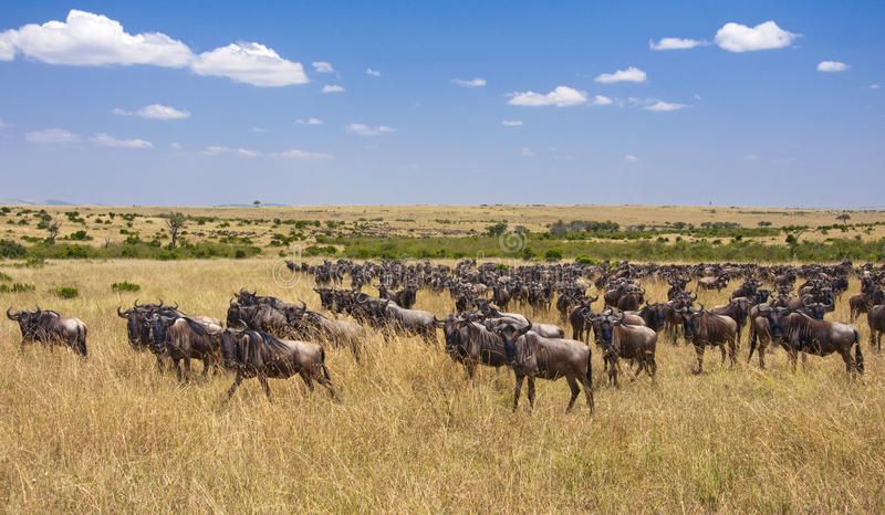 Wildebeest Migration, Masai Mara royalty free stock images