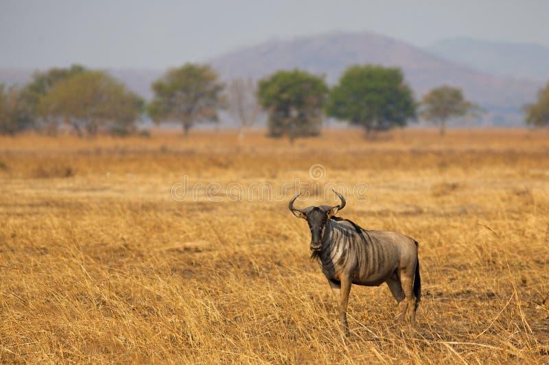 Wildebeest in Mikumi stock images