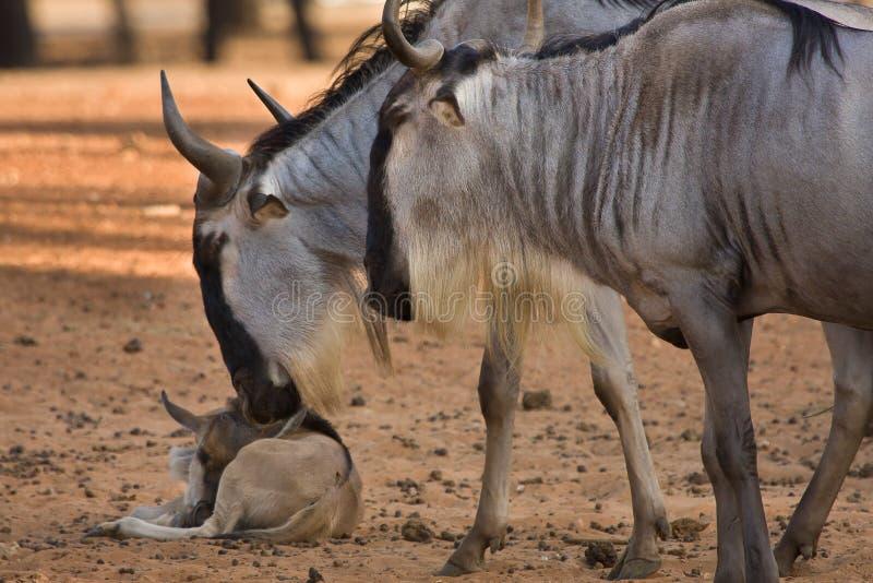 Wildebeest mit Kalb lizenzfreies stockfoto
