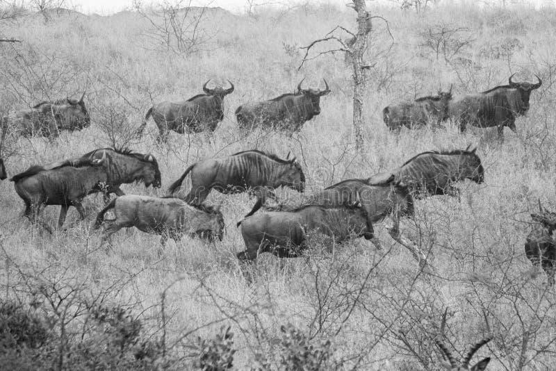 Wildebeest na bieg obraz stock