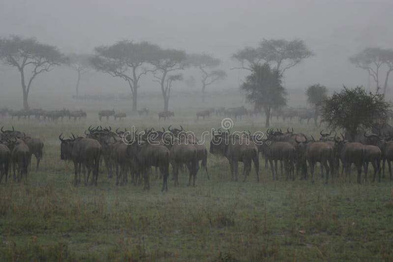 Wildebeest na chuva fotografia de stock royalty free