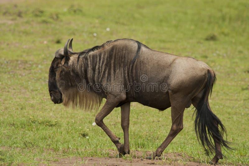 Wildebeest nella savanna fotografia stock libera da diritti