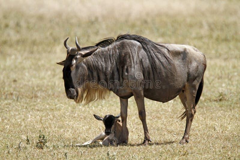 Wildebeest neugeboren stockfoto