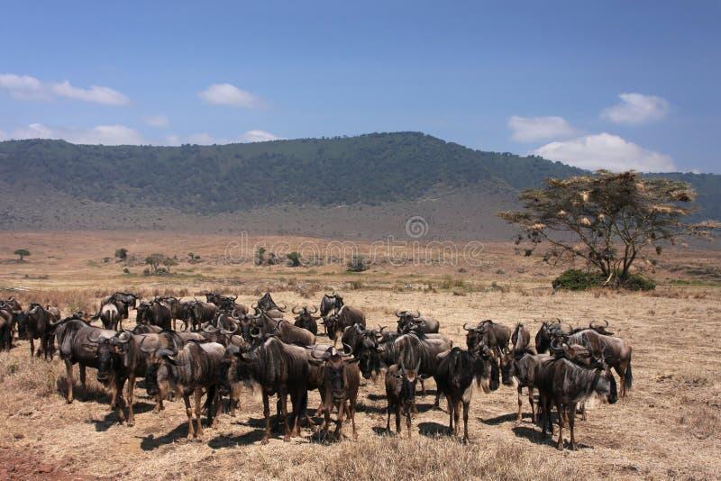 Download Wildebeest in Ngorongoro stock photo. Image of tanzania - 20812486