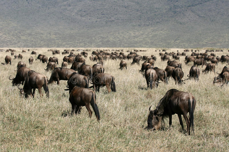 Download Wildebeest - Ngorongoro Crater, Tanzania, Africa Stock Image - Image: 12046423