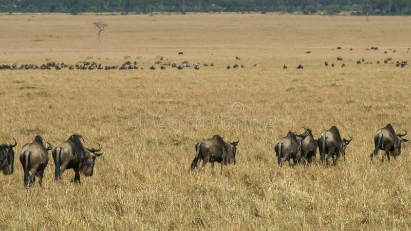 Wildebeest odprowadzenie w masai Mara gry rezerwie na ich rocznej migracji fotografia stock