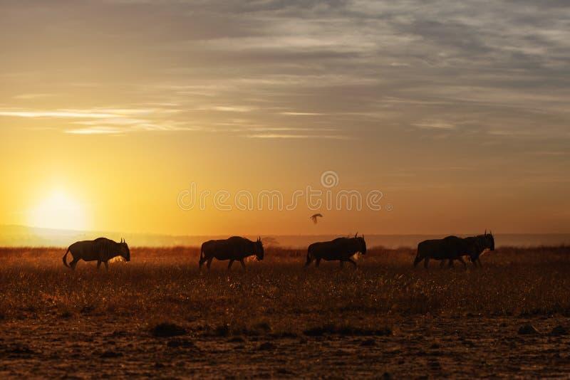 Wildebeest odprowadzenie Wzdłuż zmierzchu zdjęcie royalty free