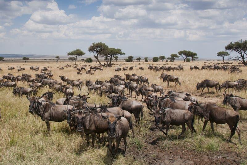 Wildebeest op de vlaktes van Masai Mara, Kenia stock afbeeldingen