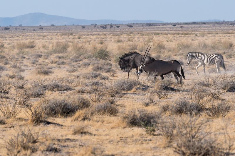 Oryx, wildebeest and zebra in Etosha National Park, Namibia. A wildebeest, oryx and zebra in the desert at Etosha National Park, Namibia, Africa stock images