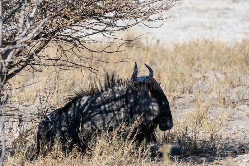 Wildebeest on the plains of Etosha National Park. A Blue Wildebeest -Connochaetes taurinus- also known as Gnus, laying on the edge of the salt pans of Etosha royalty free stock photos