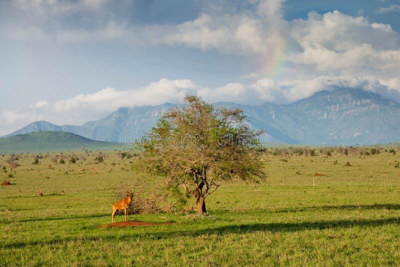 Wildebeest przy samotnym drzewem w Tsavo parku narodowym w Kenja obraz royalty free
