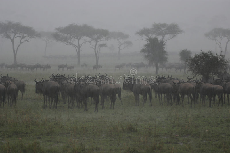 Download Wildebeest In The Rain stock image. Image of wildebeest, tree - 4067