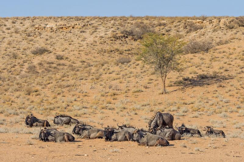 Wildebeest Relaxing in the Kalahari royalty free stock photo
