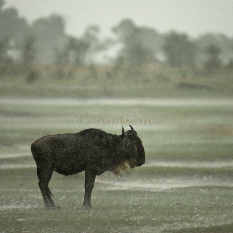 Wildebeest restant sous la pluie images stock