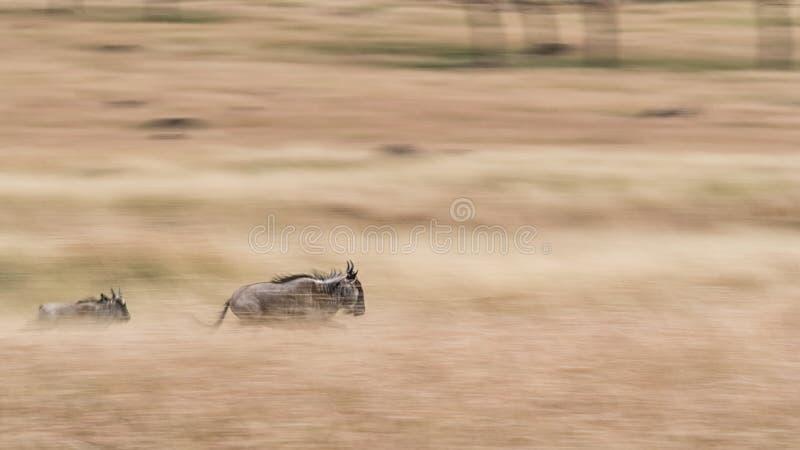 Wildebeest Running Through Grasslands - Panning Blur. An adult and a baby wildebeest running through the grasslands of Kenya, Africa. Panning image to produce royalty free stock photos