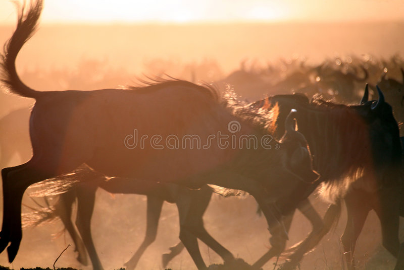 Wildebeest Silhouette (Kenya)