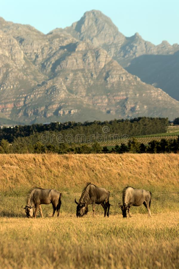 Wildebeest in Stellenbosch royalty free stock images