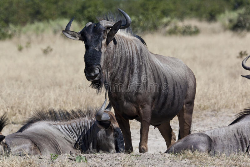 Wildebeest (taurinus Connochaetes) royalty-vrije stock afbeelding