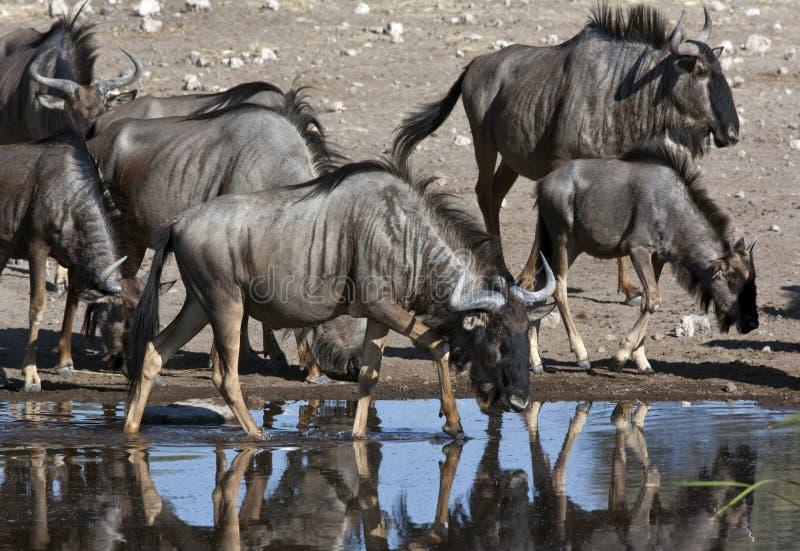 Wildebeest (taurinus do Connochaetes) imagem de stock