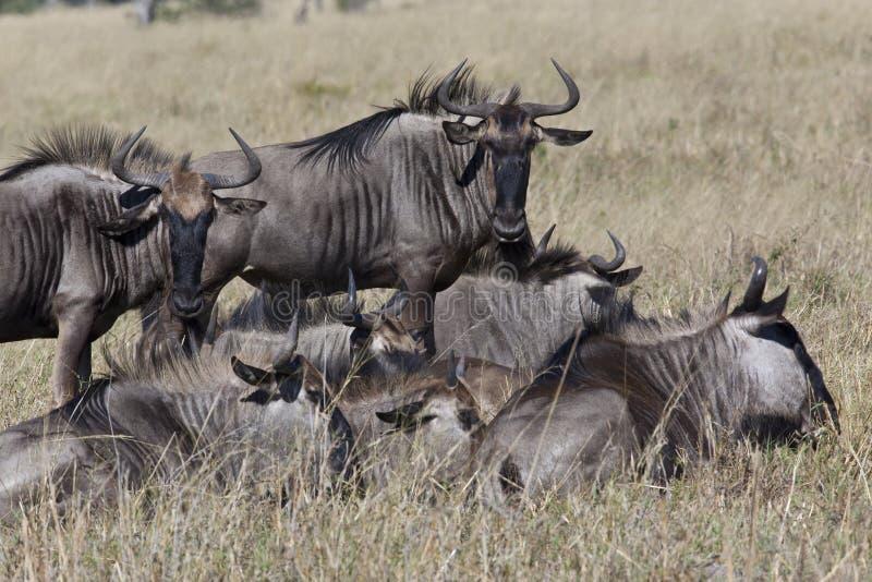 Wildebeest (taurinus) do Connochaetes - Botswana fotos de stock