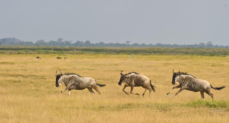 Wildebeest tres en la corrida fotos de archivo