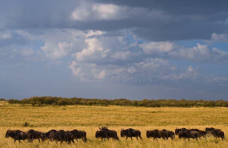 Wildebeest volgt elkaar in de savanne Grote migratie kenia tanzania Masai Mara National Park stock fotografie