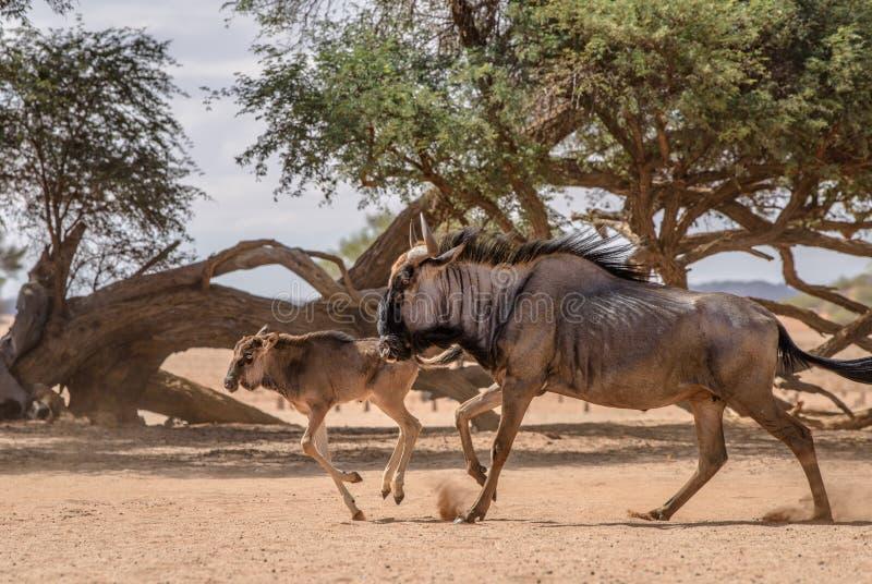Wildebeest volwassen en meest wildebeest baby royalty-vrije stock foto