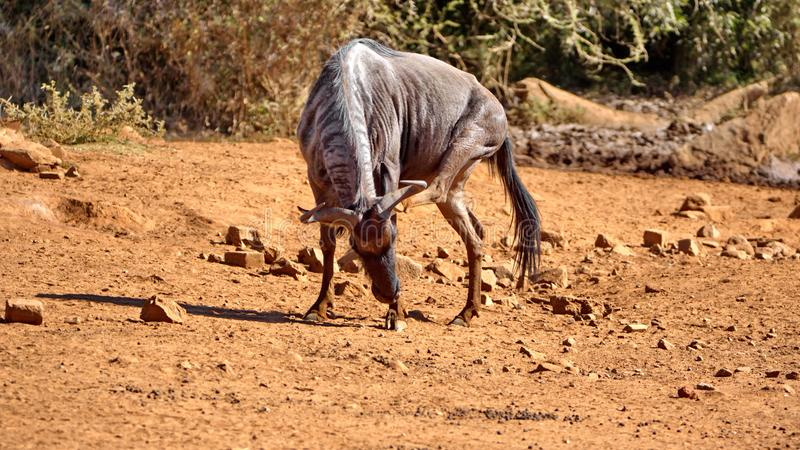 Wildebeest by a watering hole. In Pilanesberg National Park, North West Province, South Africa royalty free stock photos