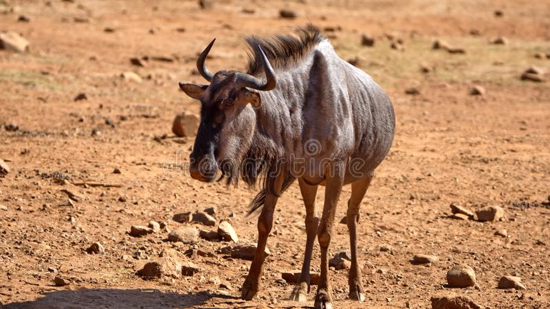 Wildebeest by a watering hole. In Pilanesberg National Park, North West Province, South Africa stock images